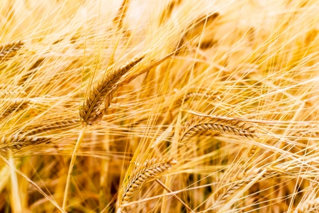 Field of golden rye classes closeup Stock Photo - 20215756