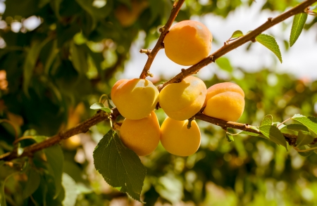 Branch of tree with apricot fruit photo