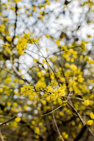 Flowering dogwoods - Cornus mas , Cornelian cherry, European cornel