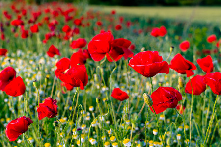 camomiles: A lot of colorful poppies and camomiles bloom in meadow Stock Photo