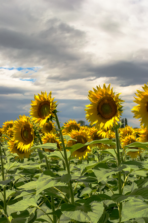 Field of blooming sunflowers against a cloudy sky
