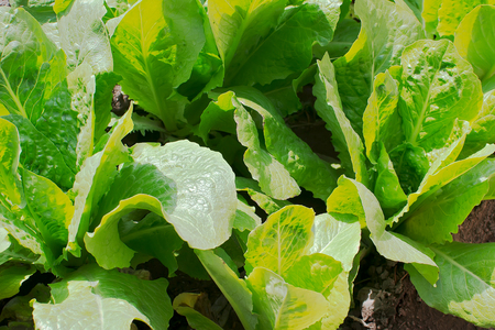 Fresh lettuce plants in vegetable bed. Stock Photo