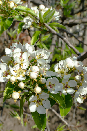 Pear blossom in early spring