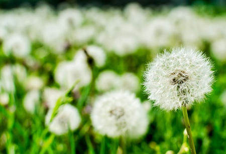 Field of dandelions - close up