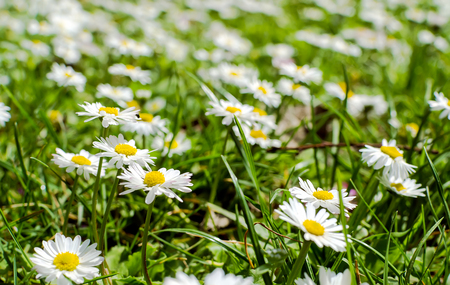 Spring daisy in the meadow Stock Photo
