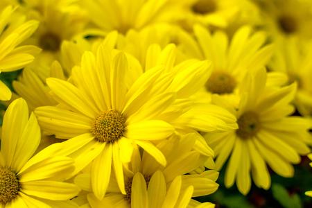 Background of yellow daisies - Golden Butterfly Marguerite Daisy Argyranthemum