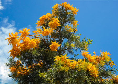 parasitic: This parasitic flower blooms just before Christmas in Western Australia, so is called the Christmas Tree