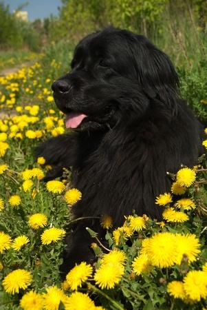 cane terranova: Cane di Terranova in erba e denti di leone Archivio Fotografico