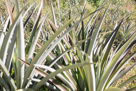 pineapple tree: group of pineapple tree Stock Photo