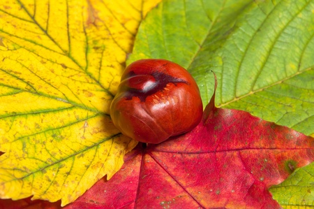 Beautiful chestnut on red, yellow and green leafs. Close up.