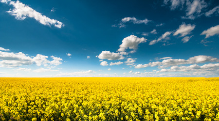 Campo canola vazio Beautyful com o céu nebuloso azul