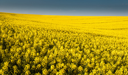 Whole picture canola field with closer look