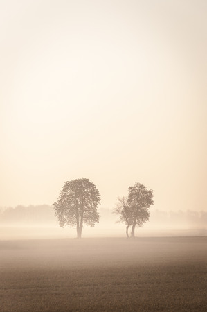 Two lonley trees standing on the filed in the mist