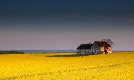 Old devastated farm building in the middle of canola field