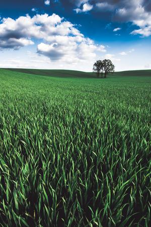 lonley: Lonley tree over the grain field with blue sky