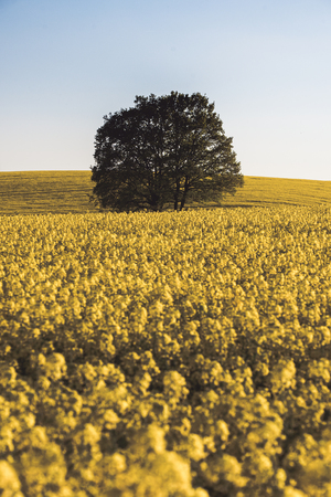 Lonley tree over the canola field, clear sky and lots of yellow