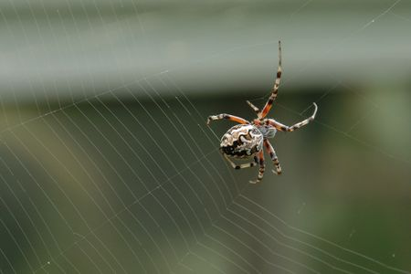 Weaver spider photo