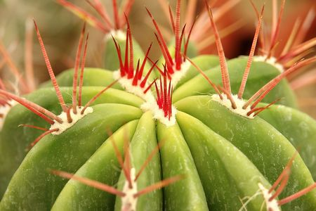 Cactus spines Red                           Stock Photo
