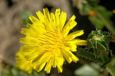 Flor silvestre amarillo                              Foto de archivo - 6508108
