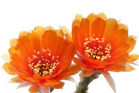 Orange twin Cactus              photo