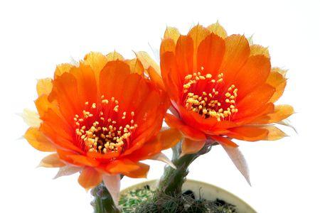 Gemelo naranja cactus                              Foto de archivo - 6504032