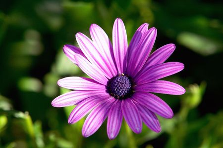 lila: lila wild flower                              Stock Photo