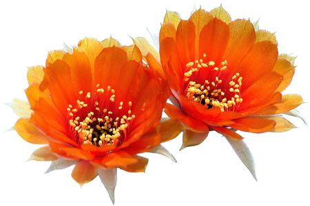 Cactus double flower beautiful orange twins