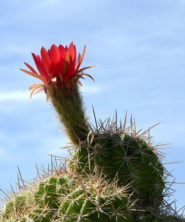 Cactus desert between clouds flower Stock Photo - 6757889
