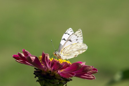 White Butterfly, insect in zinnia, farm garden flower. With a green background