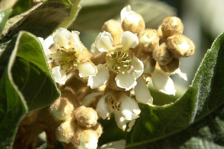 The white flowers loquat tree flower bud