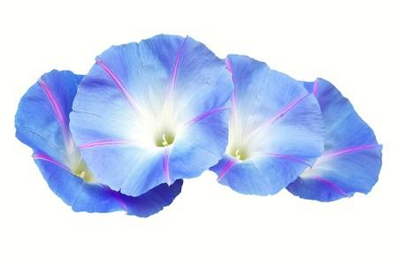 convolvulaceae: Flor Calystegia Saepium, Convolvulaceae family, violet