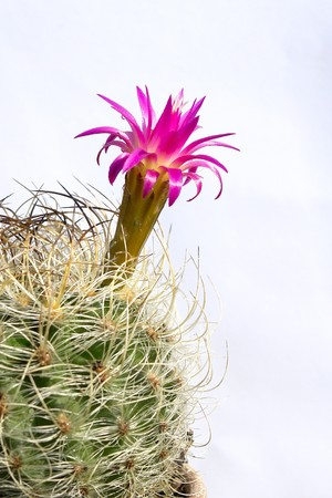 with spines: Cactus spines, pink, Cactus flower