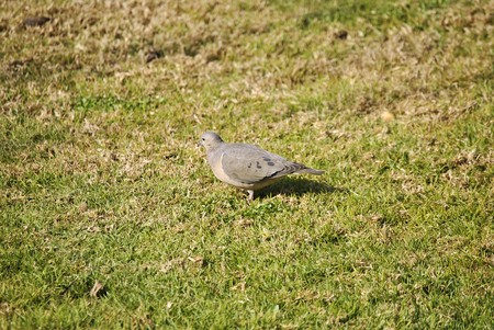 autochthonous: Dove bird of city, autochthonous Chilean name kukulina.