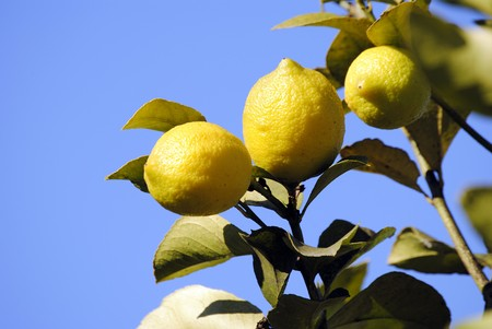 Fruit in his inhabit character, yellow ready lemon for its harvest. Stock Photo