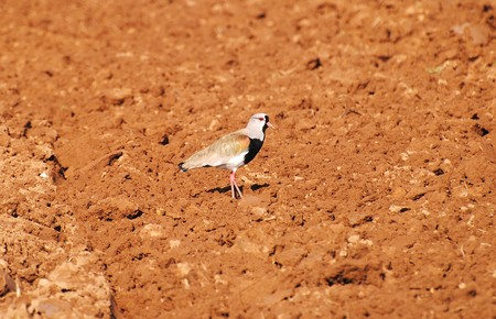 autochthonous: Bird Vanellus chilensis autochthonous of the region of chili, characteristic inhabitants of the fields and humid lots through the country. Stock Photo