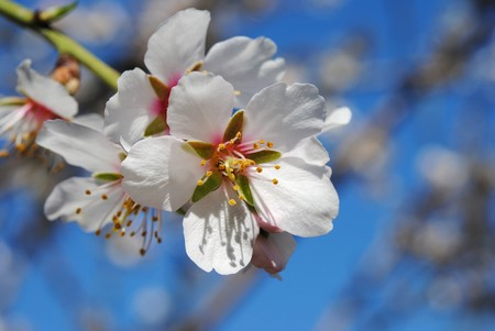 Tiny almond, foreground pistil of the flower and his petals.
