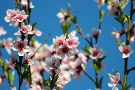 Fruit tree in spring, I cram of flowers that they would be fruit in summer.Fruit peach Stock Photo