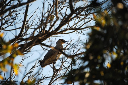 autochthonous: Nycticorax violaceus, autochthonous name guairabo, bird laid down in tree
