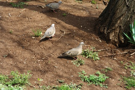 plazas: Dove of city, name kukulina, they live in rural zones, at the parks and plazas. Stock Photo
