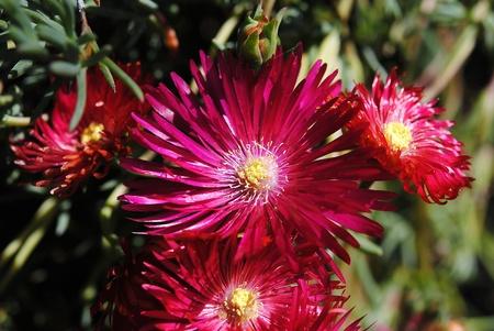 Flower red variety Obelisk Stock Photo - 8379672