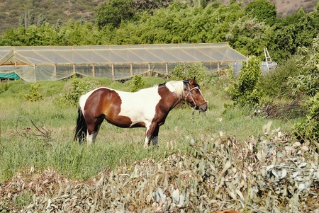 Chilean grazing race horse