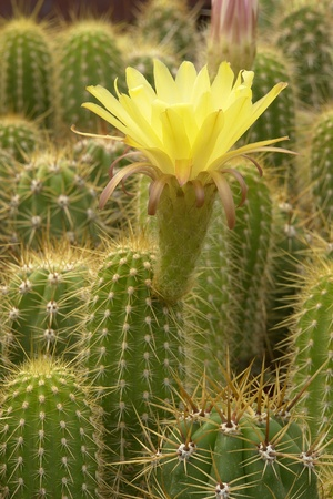 Cactus yellow flower, Chilean variety