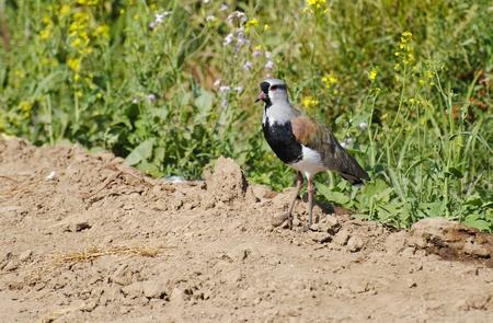 Wild so-called bird queltehue, little bean at sectors of agricultural field of the Chilean regions Stock Photo