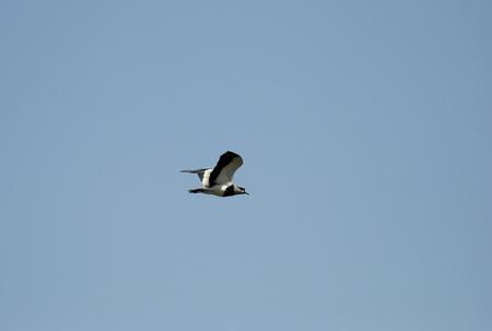 sectores: Aves silvestres Aerotransportada llamado queltehues, bean poco a los sectores de campo agr�cola de las regiones de chilenas.