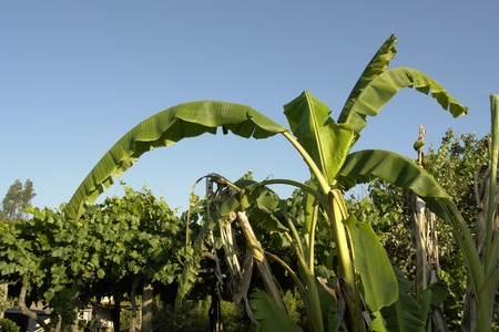 Banana of big green sheets fruitlessly, bottom the blue sky.