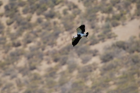 sectors: Wild bird airborne called queltehue, little bean at sectors of agricultural field of the Chilean regions.