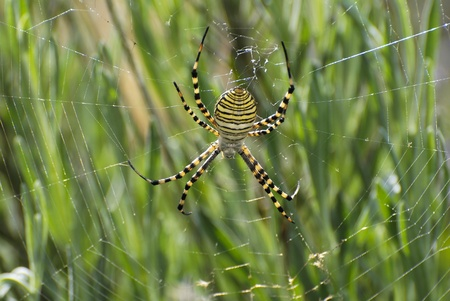 especial: Hunting spider in his cloth, insect of black color and yellow, especial variety of big size.
