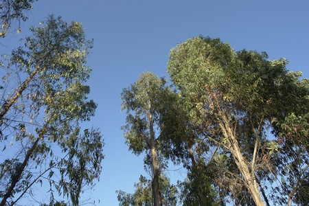 Landscape of tree eucalyptus with bottom blue sky in a day of summer, light of the evening