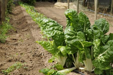 Acelga, Beta vulgaris, Invernadero Foto de archivo - 11513718