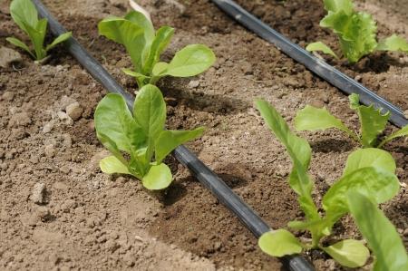 het planten van sla, Lactuca sativa, druppelirrigatie.